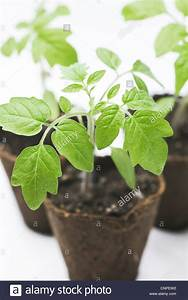 Lycopersicon Esculentum  Tomato Plants In The Early Stages