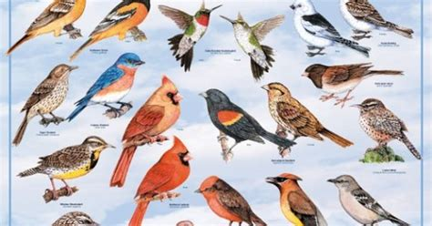 American Backyard Birds backyard birds of america poster american