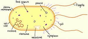 1 2  U2013 Prokaryotic Cells  U2022 A  Biology