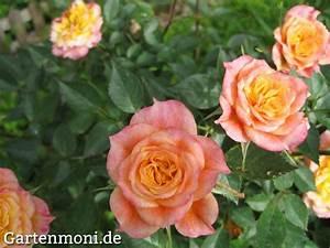 Rosen Ohne Dornen : rosen ohne blattl use gartenmoni altes wissen bewahren ~ Lizthompson.info Haus und Dekorationen