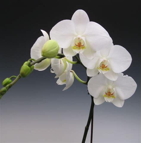 Phalaenopsis Orchid (White) Hawaiian Starter Plant