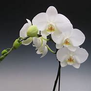 Image result for Phalaenopsis Orchid Flowers