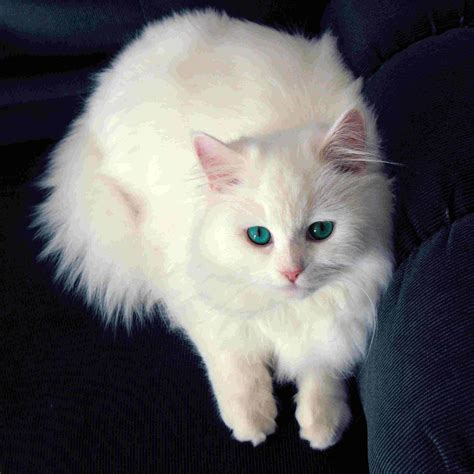 white cats white cat wallpapers wallpaper cave