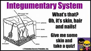 Integumentary System Function Human Body Skin Hair Nails