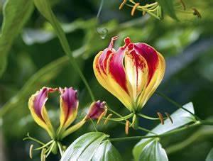 Gelbe Winterharte Pflanzen : beliebte afrikanische pflanzen und zimmerpflanzen ~ Markanthonyermac.com Haus und Dekorationen