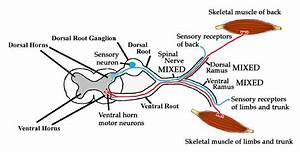 Ventral Root Ganglion - Anatomy