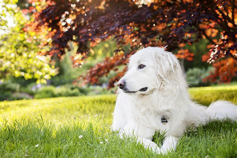 great pyrenees dog breed information pictures