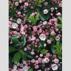 Summerflowering Shrubs  Outside Stuff  Flowering Shrubs