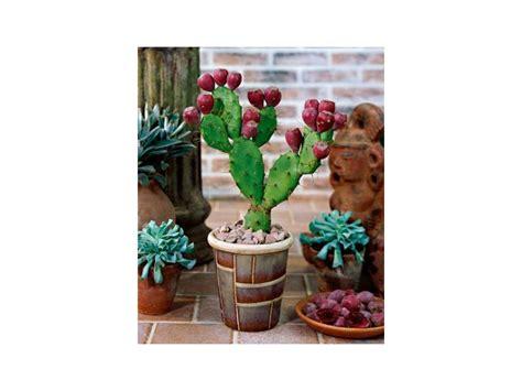 Opuntia kaktus - Opuncija Indijska smokva (seme) - Kupindo.com (17119505)