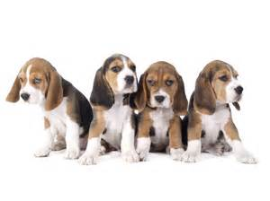Which Dogs Do Not Shed by The Beagle Lab Mix A Curious Combination Of Two Popular