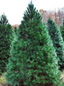 Canaan Fir Christmas Tree by Choosing The Right Christmas Tree Msu Extension
