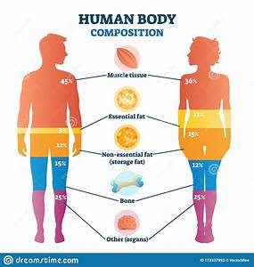 Human Body Composition Infographic  Vector Illustration