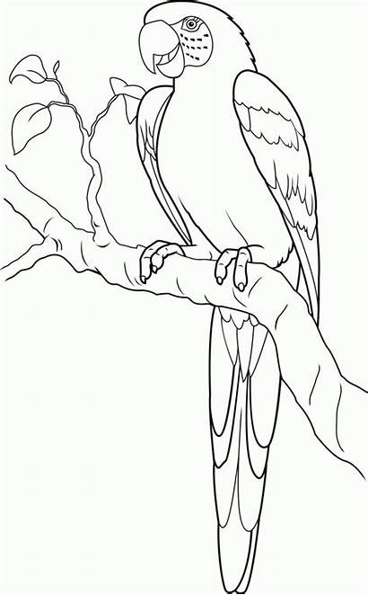 Coloring Macaw Scarlet Pages Colouring