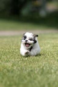 Shih Tzu Puppies Running