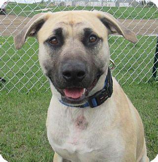 triton adopted dog  lloydminster ab mastiff