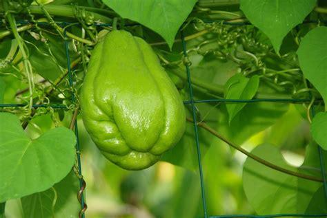 cuisiner la chayotte ces légumes exotiques à planter