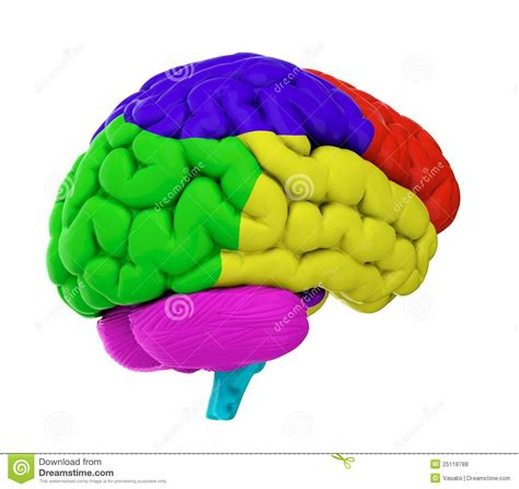 what color is a brain colored brain royalty free stock photos image 25118788