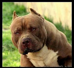 15 best images about HULK The Pit Bull on Pinterest ...