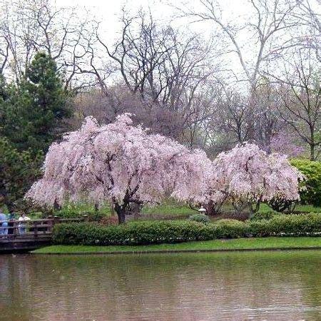cerisier du japon en pot les 25 meilleures id 233 es concernant arbre pleureur sur d arbre de saule