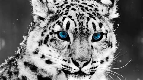 Animals Wallpapers Cool Animals by Snow Leopard Hd Animal Wallpapers Pet Cool