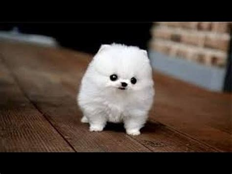 Cute Small Fluffy Dog Breeds
