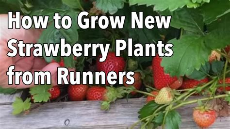 Growing Strawberries How To Grow New Strawberry Plants