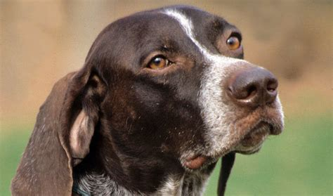 german shorthaired pointer excessive shedding german shorthaired pointer breed information