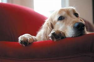 Hypothyroidism In Dogs  U2014 Why Does It Happen And Can You