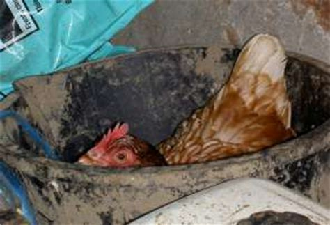 keeping chickens   budget  housing  hens