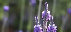 Lavendel Wann Schneiden : lavendel schneiden wann dr schweikart ~ Lizthompson.info Haus und Dekorationen