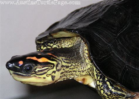 can anybody tell me what species this turtle is yahoo