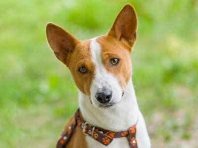 basenji information characteristics facts names