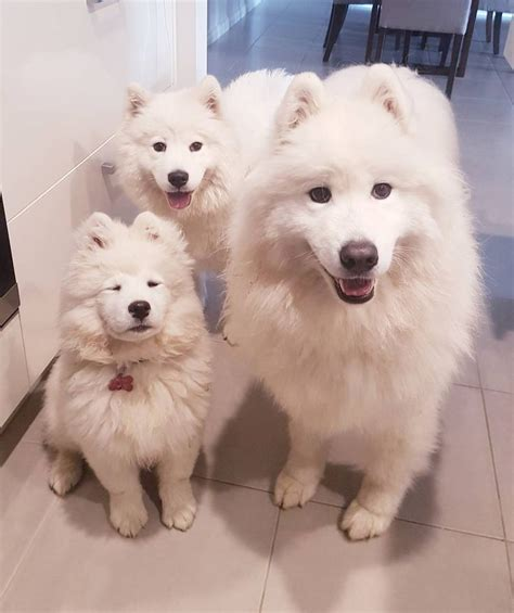 Pin By Nicole On Samoyed Puppies Pinterest Chien