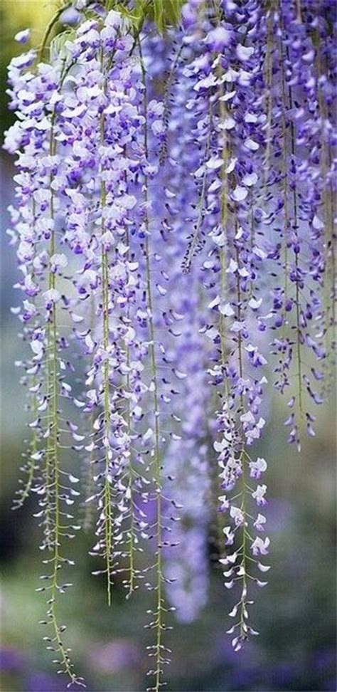 small wisteria i had a small wisteria in a previous garden it framed the door beautifully i think i know the