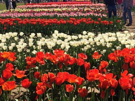 amazing tulips review of america bulb farms