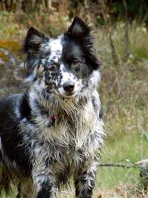 border collie blue heeler mix search engine at search