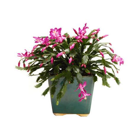 variegated christmas cactus   wallpapers