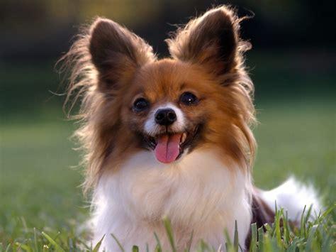 cute dogs papillon dog
