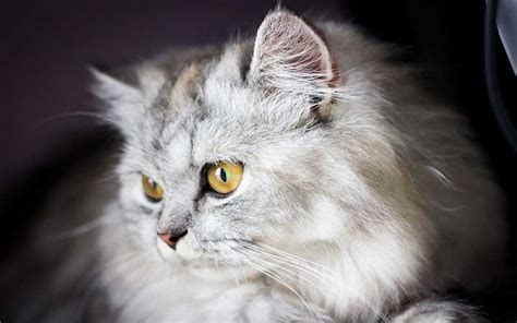 how to stop cats from shedding cat shedding best pet home remedies
