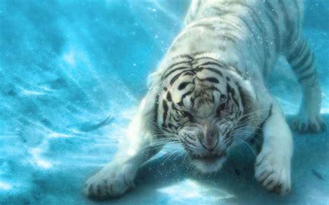 weißer tiger kostüm die 75 besten wei 223 e hintergrundbilder