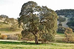 trees – Wilderness Oak Tree #4, Northern California   Poem ...
