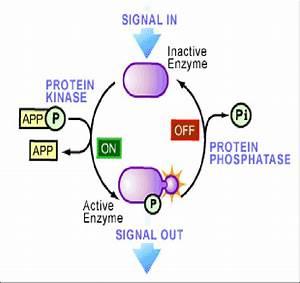 Figure1  Protein Phosphorylation And Dephosphorylation