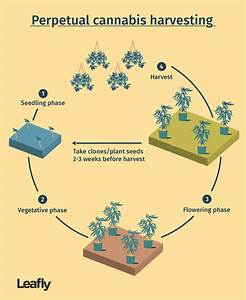 How To Harvest Cannabis Continually Throughout The Year