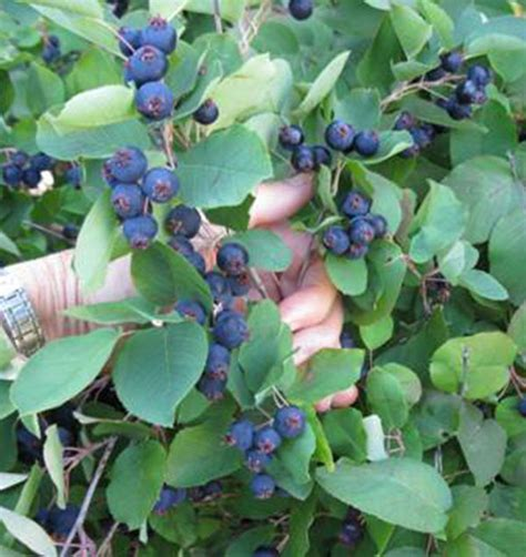 serviceberry timm success buy   annies annuals