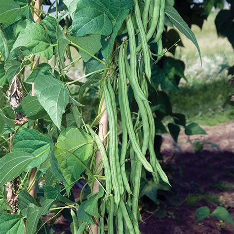 Climbing Bean Monte Cristo Seeds From Mr Fothergill's