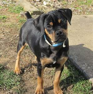 Carlin Pincher- looks like a mini Rottweiler. | family pet ...