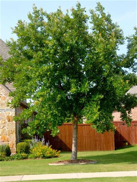 Best Shade Of by Best Shade Trees For Trees