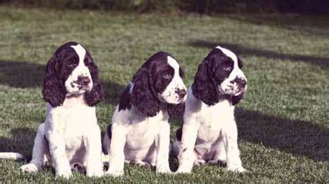Springer Spaniel Puppies Shedding by How Much Do Springer Spaniels Shed Petcarerx