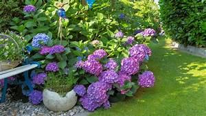 Hortensien Pflege Balkon : 5 einfache tipps zur hortensien pflege egarden ~ Lizthompson.info Haus und Dekorationen