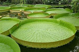 The Features Of Giant Water Lilies  U2013 How It Works